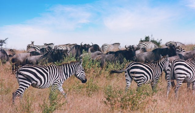 Image of herd of Gnus and Zebras walking in Masai Mara, Kenya 1995