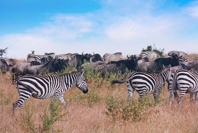 Image of Herd of Wildebeest and Zebras walking in Masai Mara, Kenya 1995