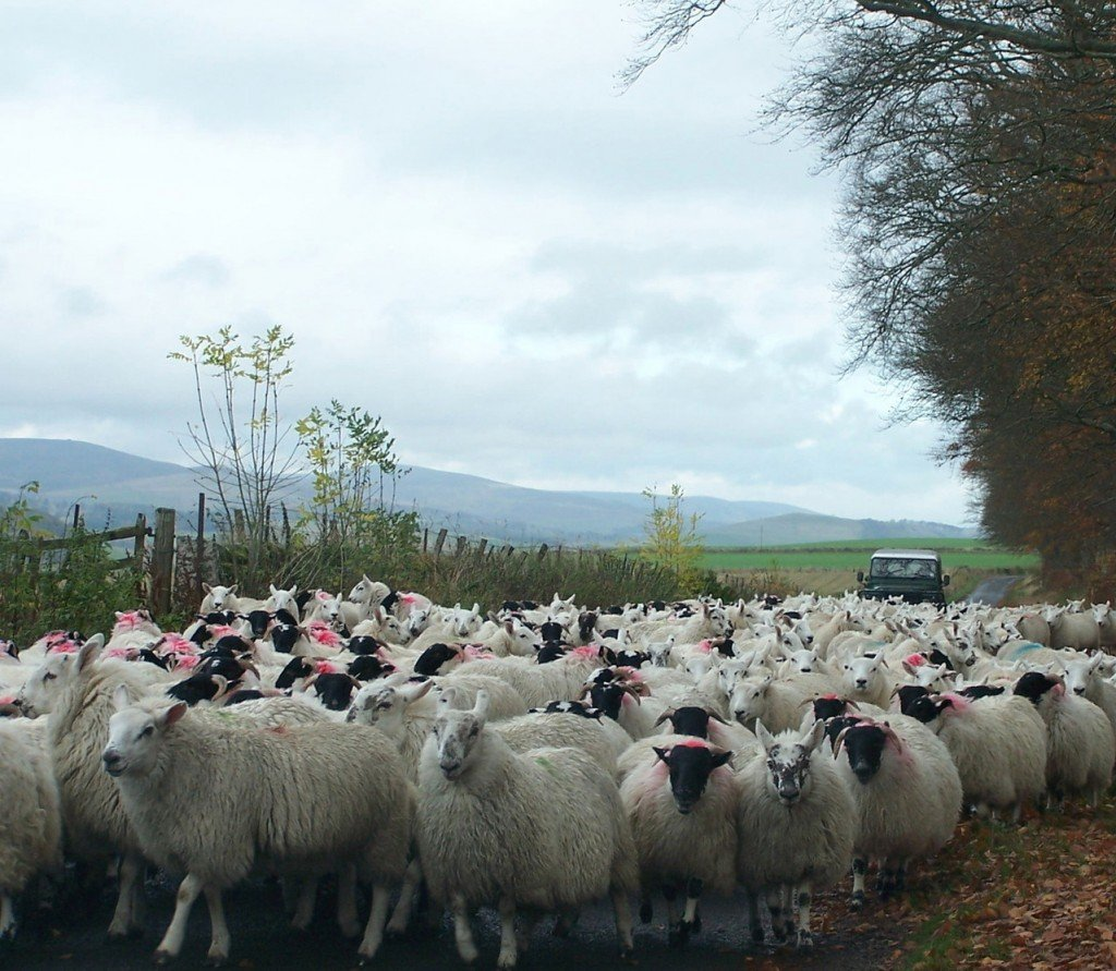 Sheep on the road image