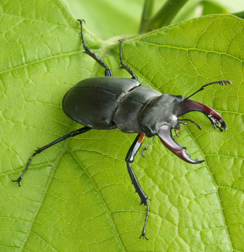 Image of bug deer
